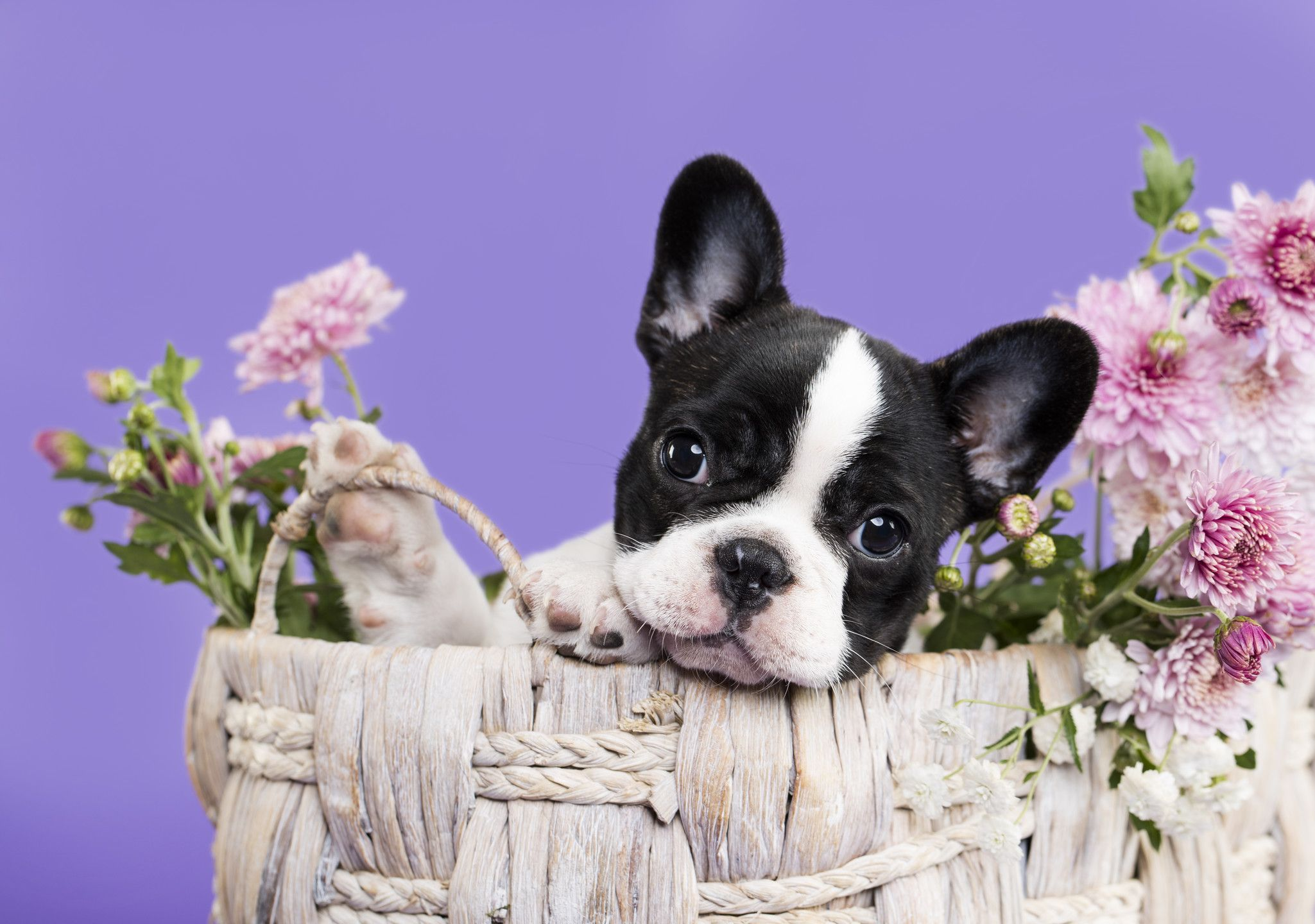 French Bulldog Puppy And Autumn Flowers Bulldog Puppies French