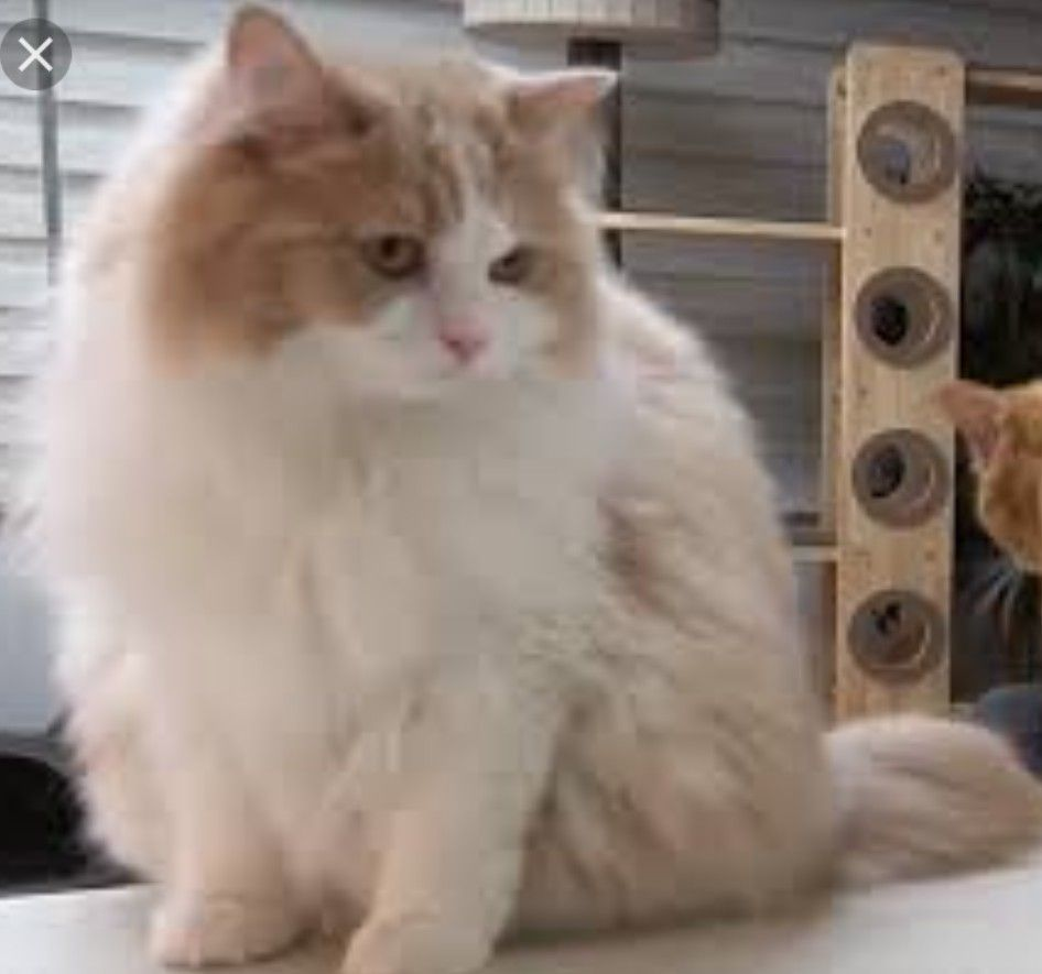 Any One Know What Breed This Cat Is Cat Is Dd From Creamheroes