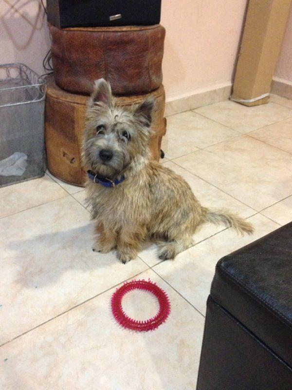 Leo Cairnterrier Ct Cairn Terrier Lhasa Apso Terrier