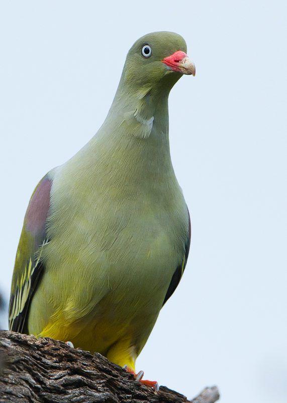 African green pigeon. #birdwatching #photography