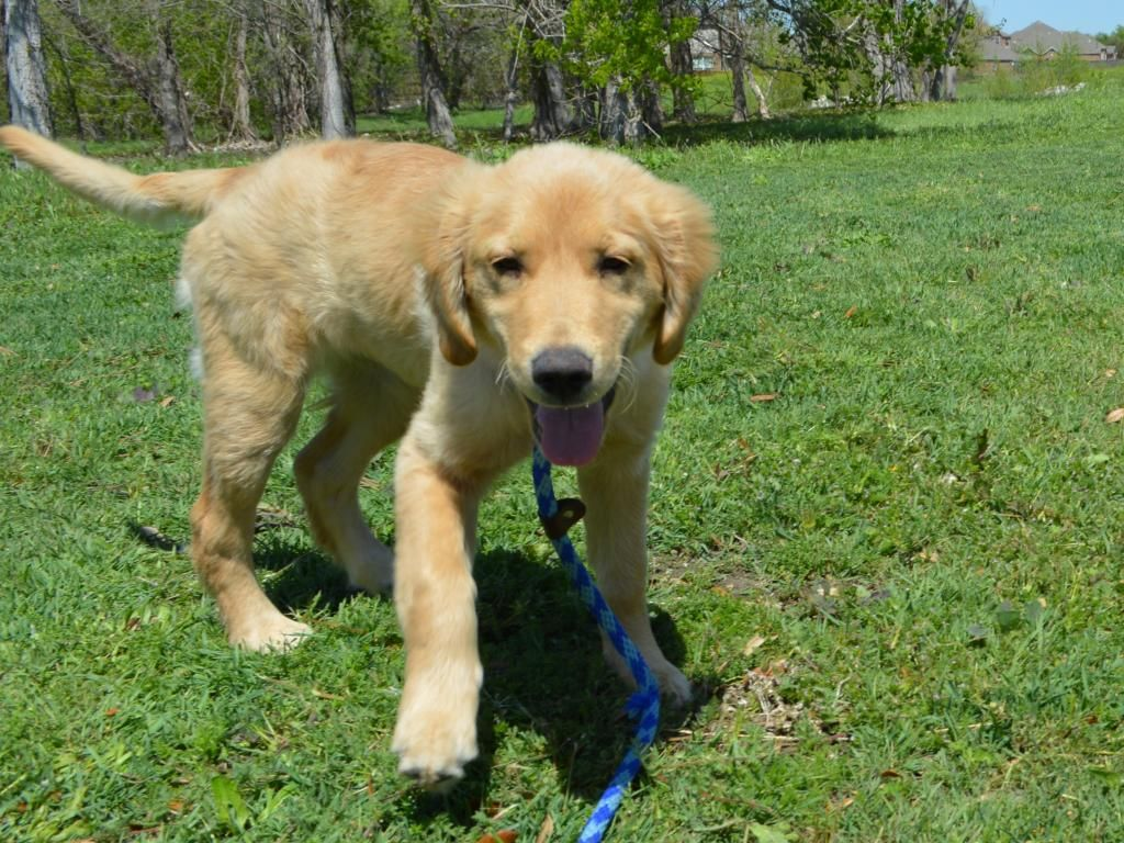 Sadie Was Born Dec 2013 Http Www Goldenretrievers Org Our Dogs