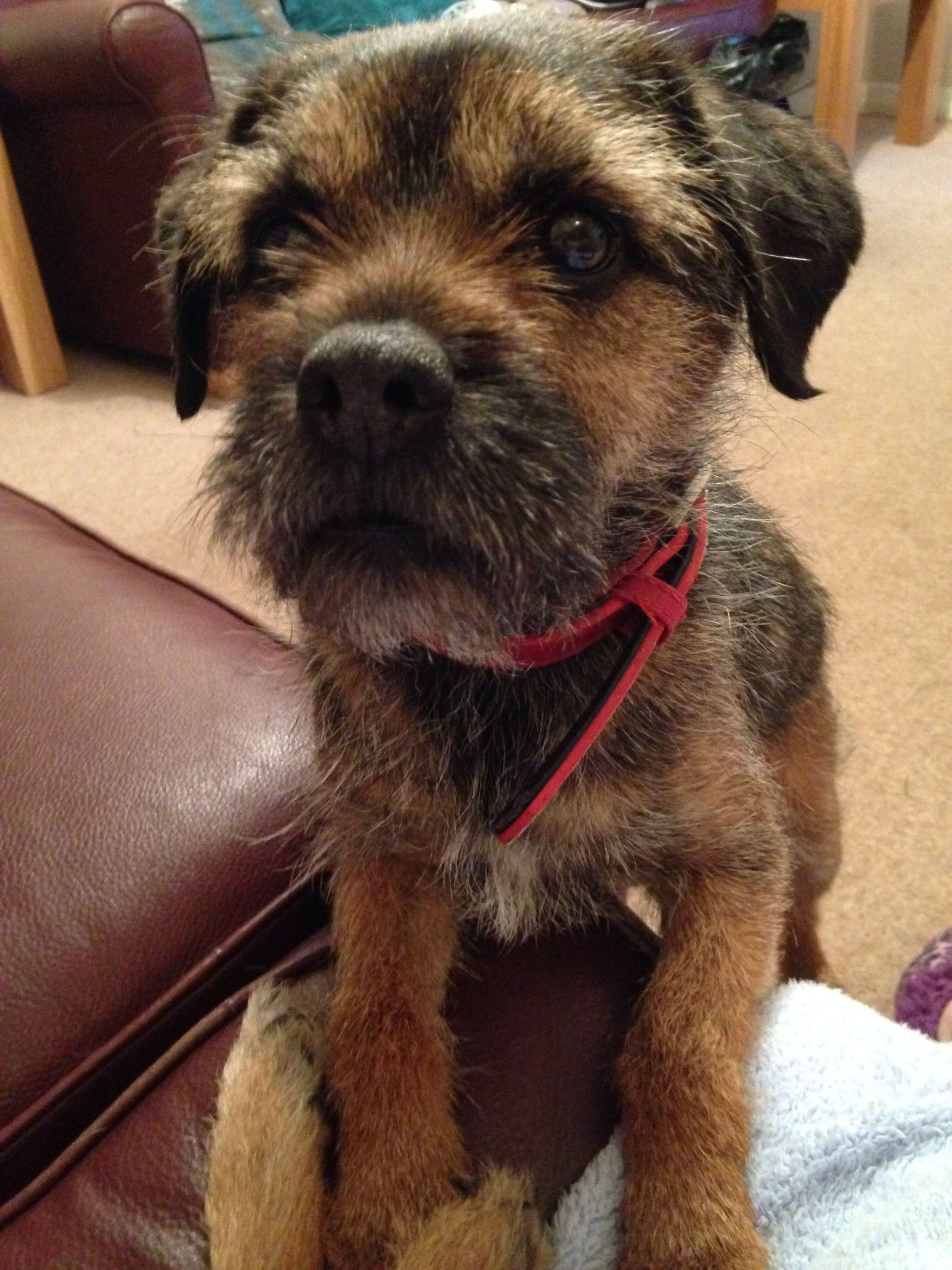 Indy, Meg's dear little Border Terrier