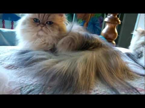 12 09 20 Combing Persian kitty, Sirocco, of the LONG fur - YouTube