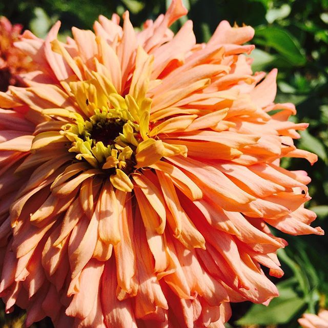 Just saw this shaggy zinnia in he garden. All are from seed saved from last year. #comeseeus #organic #smallfarm #sharethebounty #shoppallen