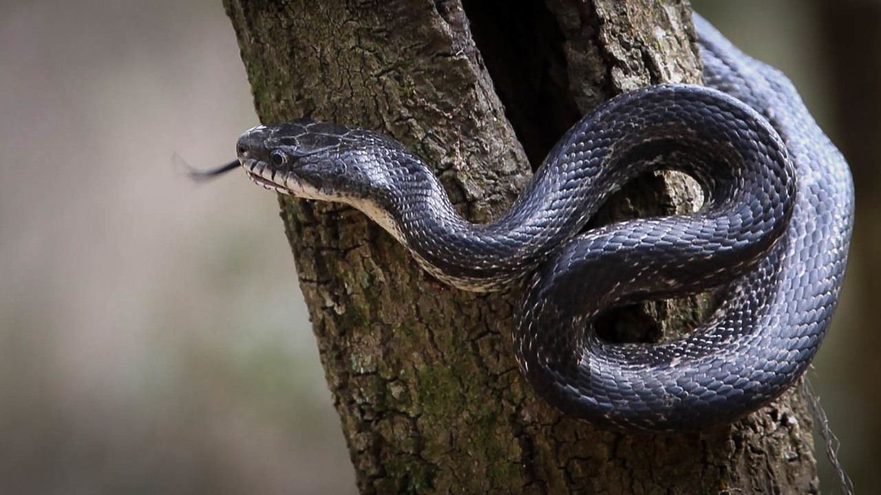 There Are 37 Species Of Snakes In North Carolina And 6 Are Venomous Poisonous The Copperhead The Cottonmouth Water Mocc Snake Poisonous Snakes Coral Snake