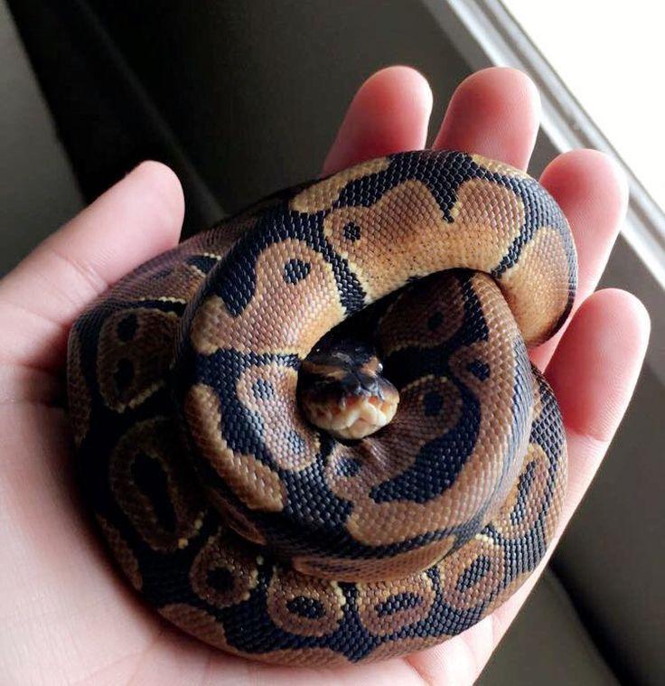 Baby ball python | Baby Snakes | Pinterest | Ball python ...