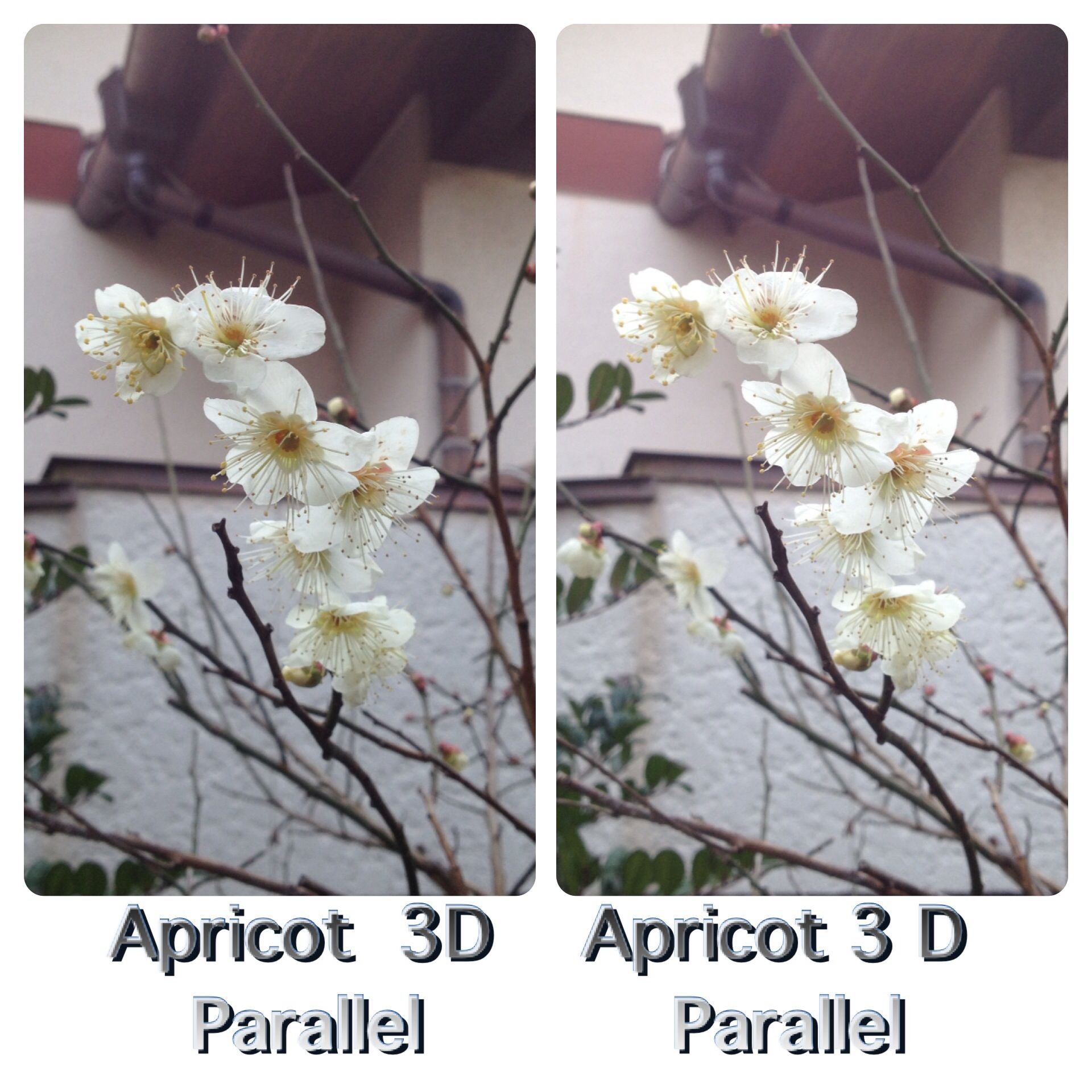 Apricot in 3D by parallel view 白梅3D、平行法で見てください。