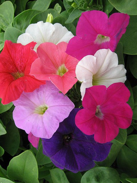 Calibrachoa Magic Bells Kabloom Romance Mix Pill Good Seed