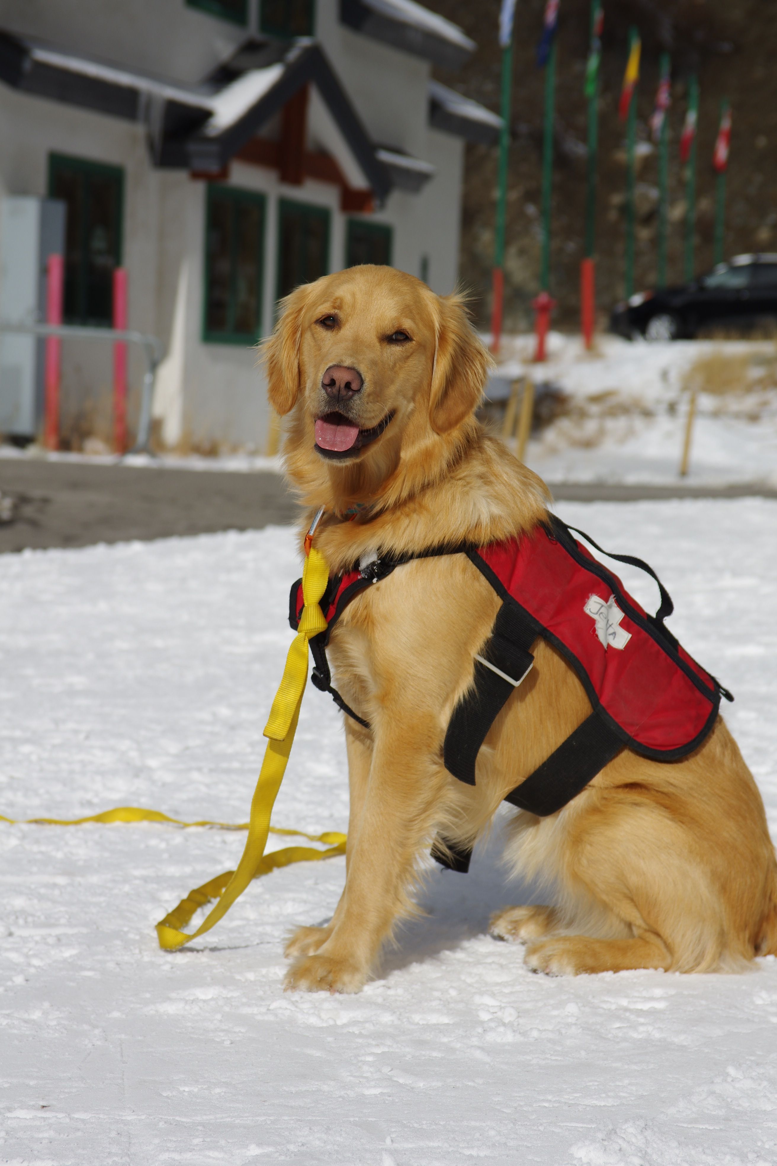 Ski patrol dog. Many are used in the Alps especially the