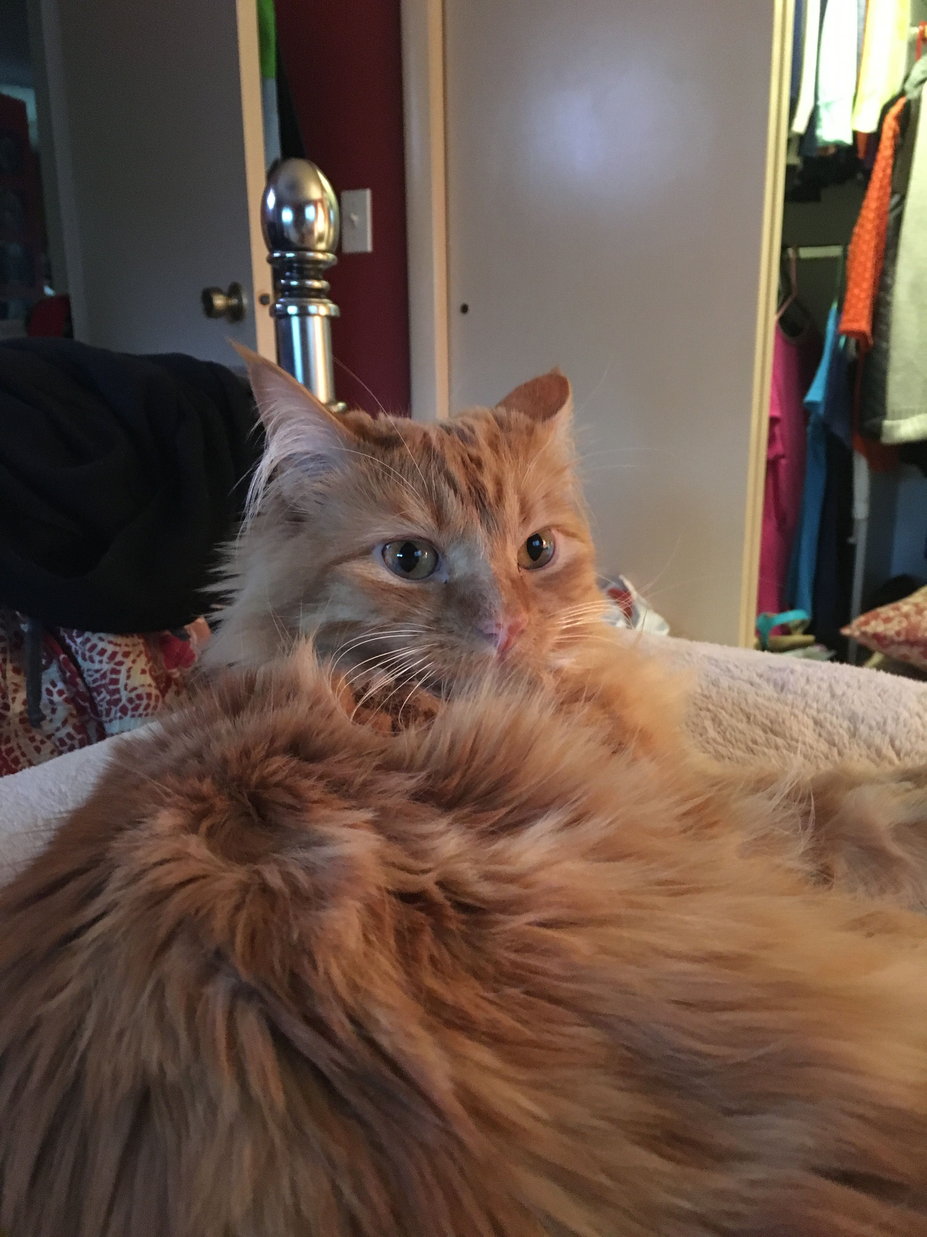 Wilbur My Orange Long Haired Tabby With Images Tabby Kitty