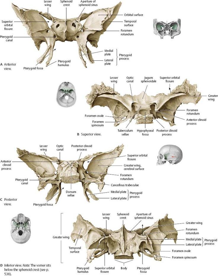 Image Result For Sphenoid Bone Labeled Anatomi Pinterest