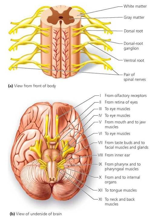 Cranial Nerves Diagram Labeled Ventral Side - DIY Enthusiasts Wiring ...
