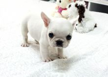 Miniature French Bulldog Puppies For