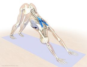 lower trapezius and serratus anterior  downward facing