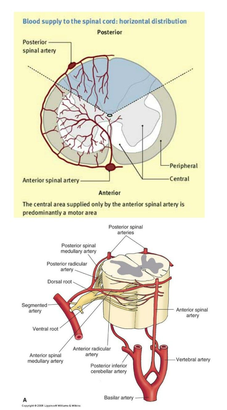 Segmental artery is a branch of \