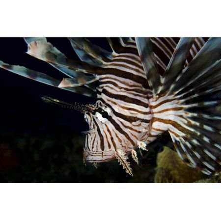 Close-up view of a lionfish Curacao Canvas Art - Brent BarnesStocktrek Images (34 x 23)