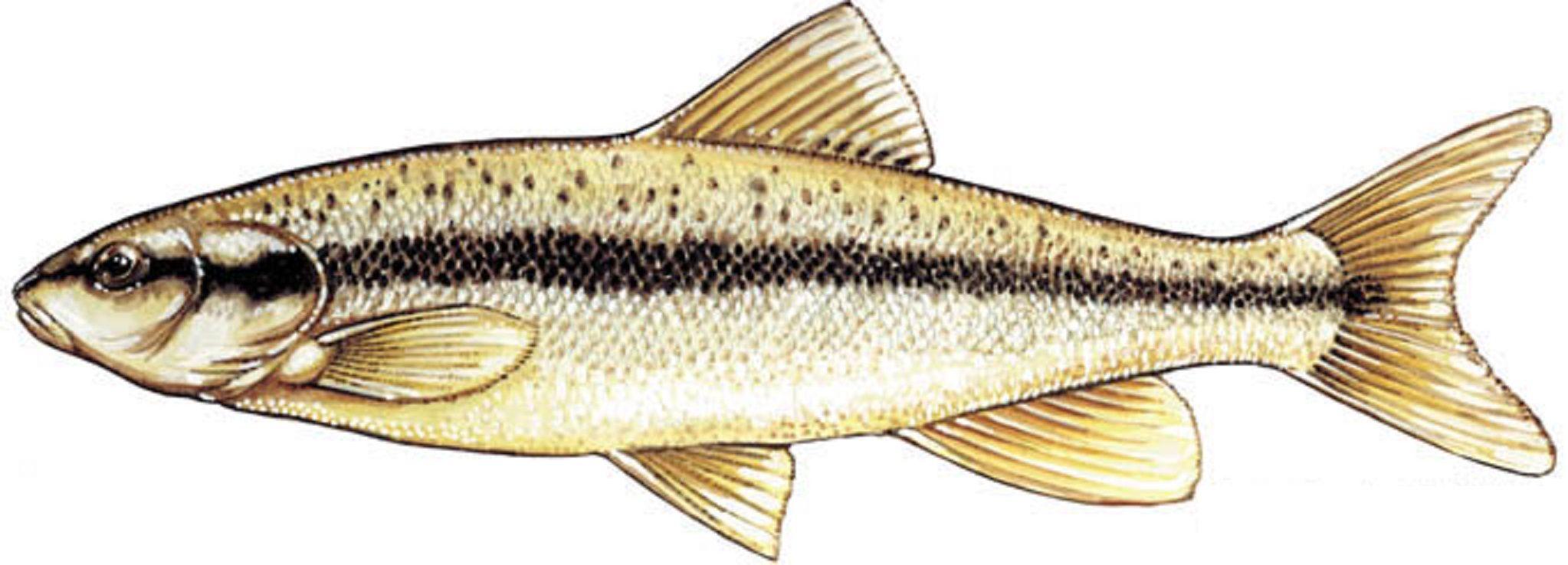 Freshwater fish dace -