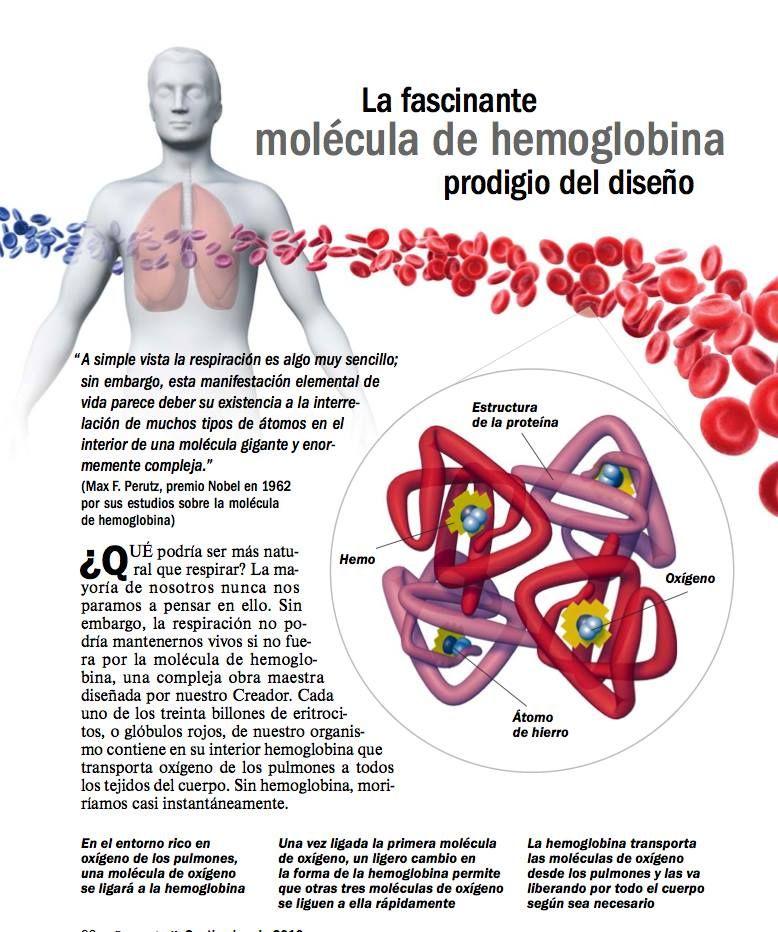 Hemoglobina Molecula Hemoglobina Y Anatomía Humana