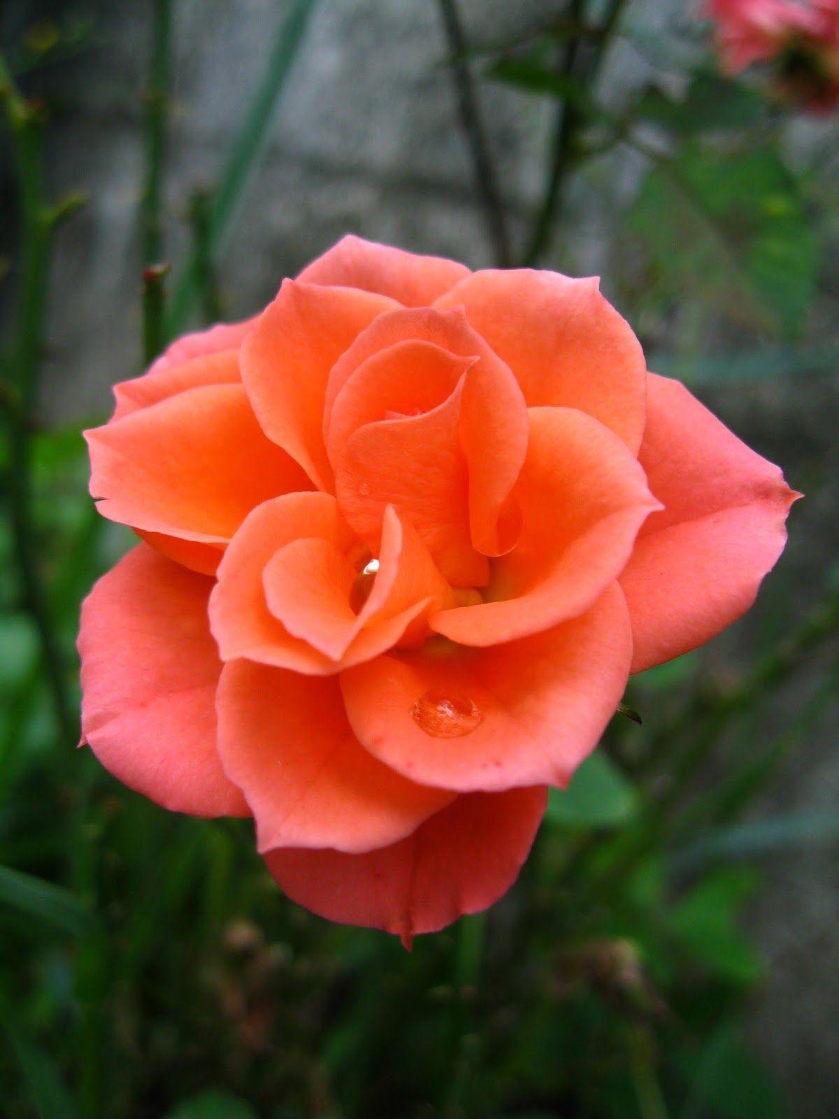 Garden Therapy Roses Are Love Rose Orange Rosa Roses Garden File Commons Therapy Wikipedia Wikimedia K In 2020 Vegetable Garden Design Backyard Design Garden Design