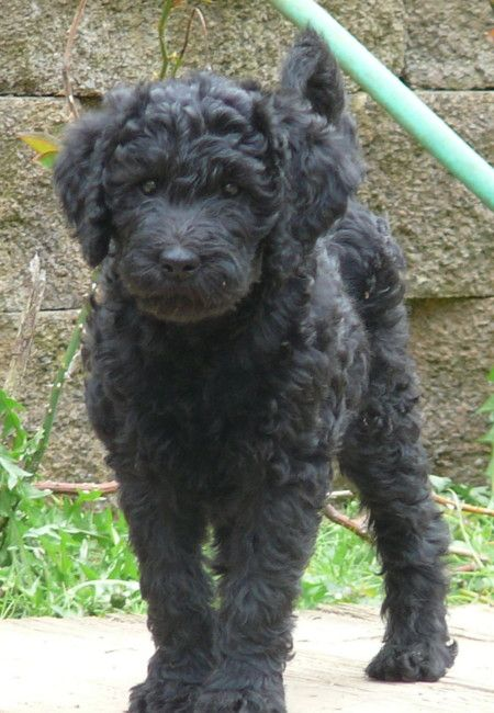 This Looks Just Like My Standard Labradoodle When She Was A Puppy