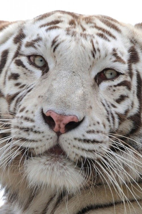 What a beautiful face ~ White Tiger.