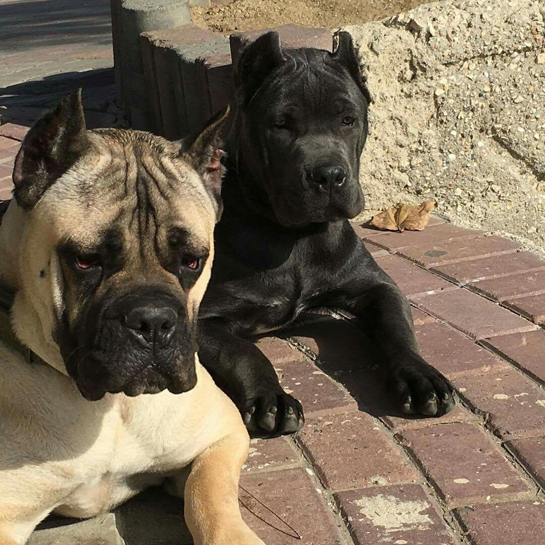 From I Love My Cane Corso Cane Corso Dogs Puppies