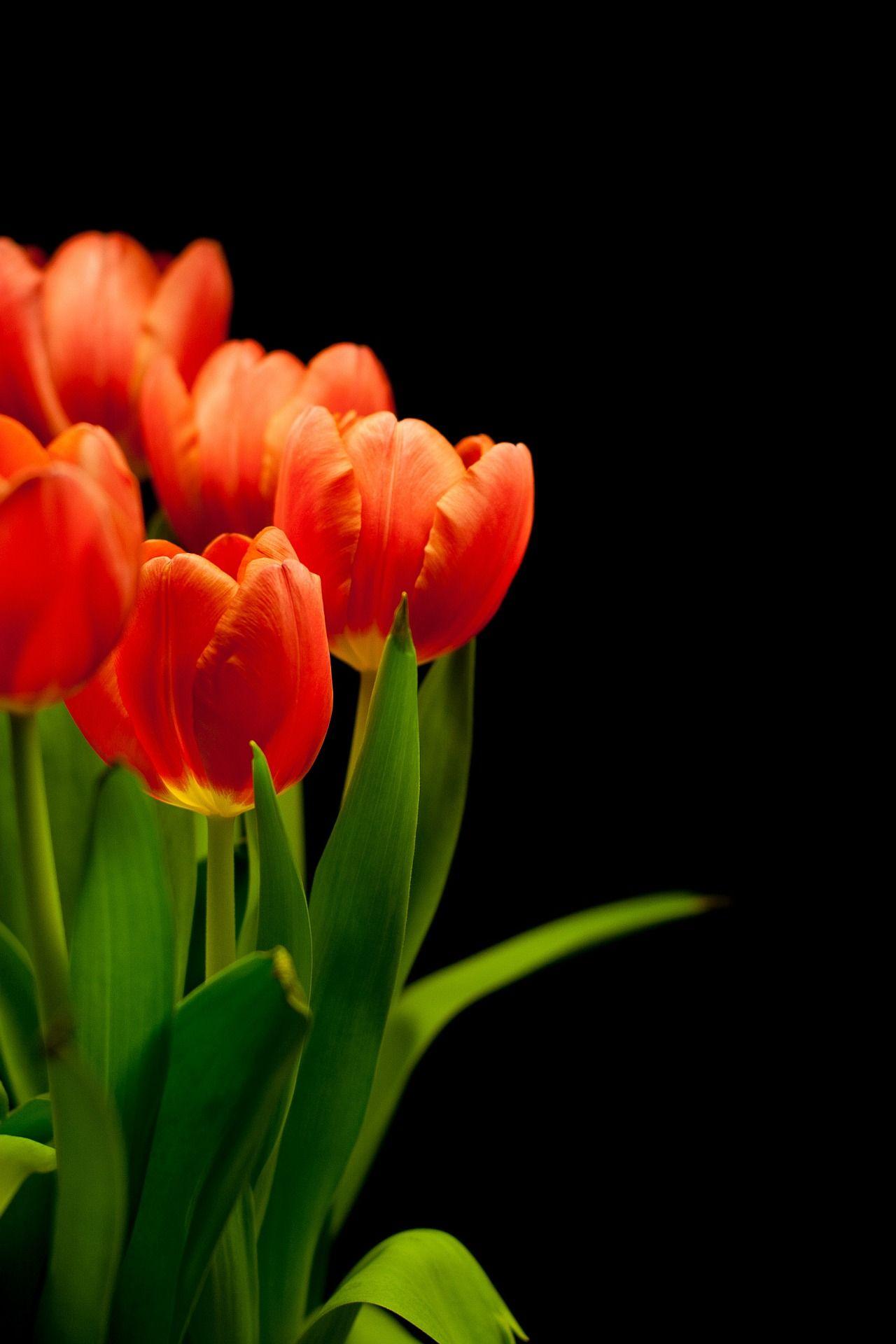 Tulipanes flores de exterior flores rojas plantas for Plantas de exterior