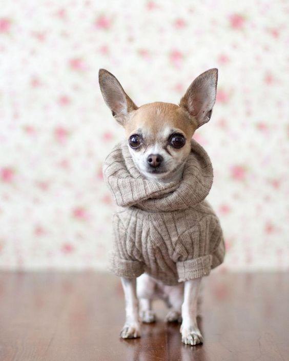 Funny Dog Dress Up Dapper Dogs Cute Chihuahua Chihuahua Love