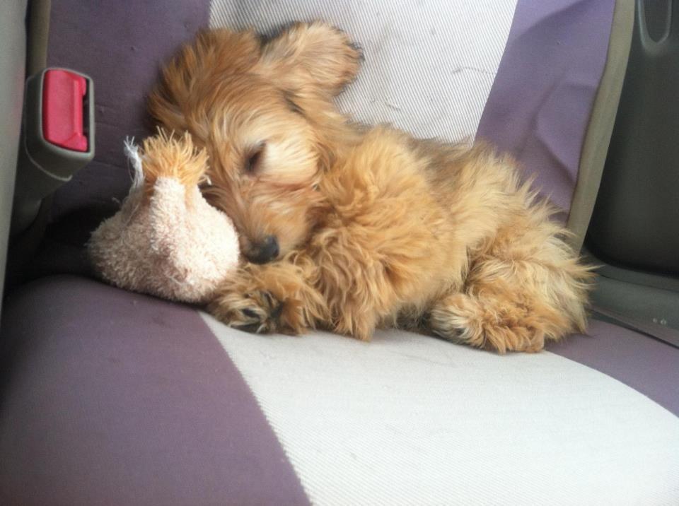 its so fluffy!!! Cute animals, Dachshund, Animals