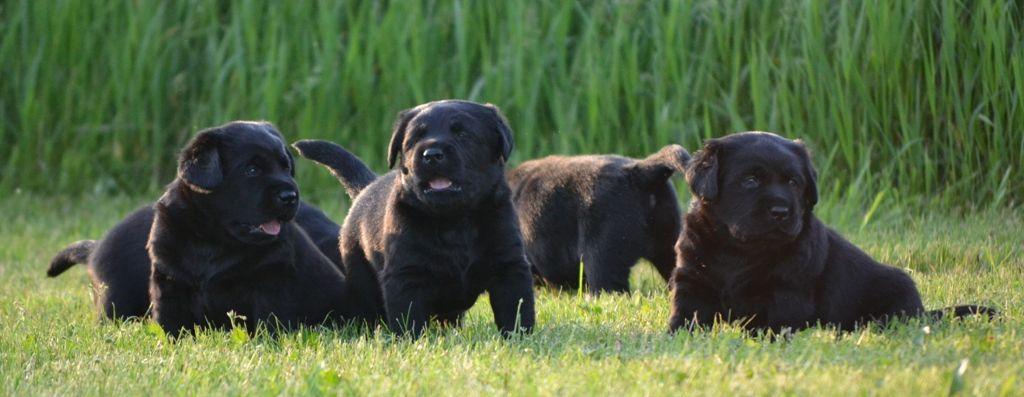 Pin By Joanne Schloen On Dogs Cute Animals Labrador Retriever Animals