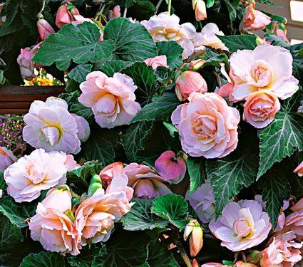 Begonia Scentiment Blush White Flower Farm White Flower Farm Flowers Beautiful Flowers