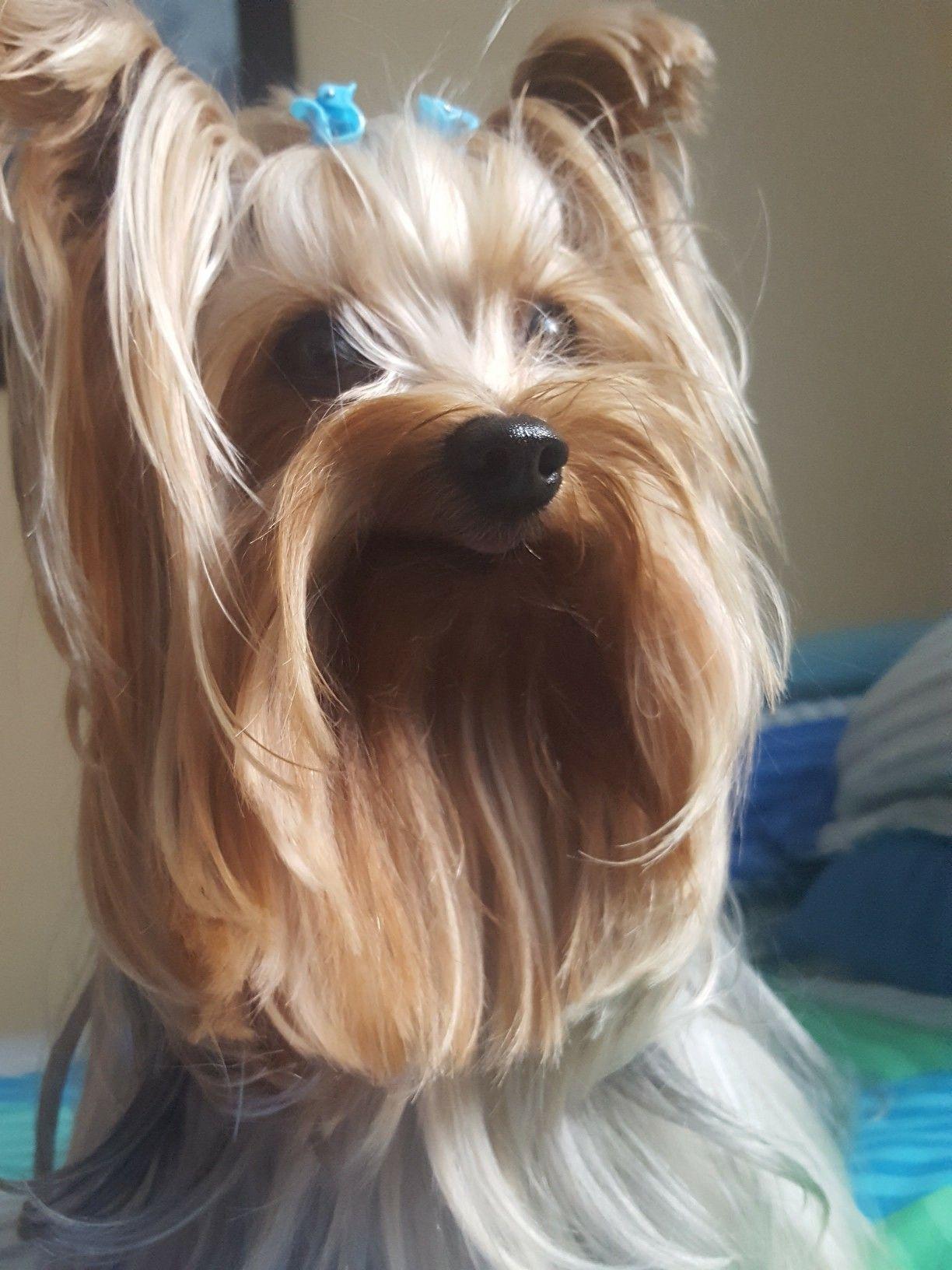 En Homenaje A Mi Ninobellodeguadalupe Yorkshire Terrier Puppies Yorkshire Terrier Yorkie Yorkshire Terrier