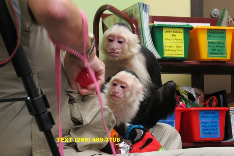 Cute Capuchin Beautiful Male And Female Capuchin Monkeys Available For Re Homing The Have Very Good Monkeys For Sale Capuchin Monkey Capuchin Monkey For Sale