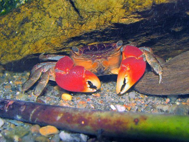 Red Clawed Crab Perisesarma Bidens Care Sheet Critter Hub Saltwater Aquarium Fish Freshwater Fish Aquarium Fish