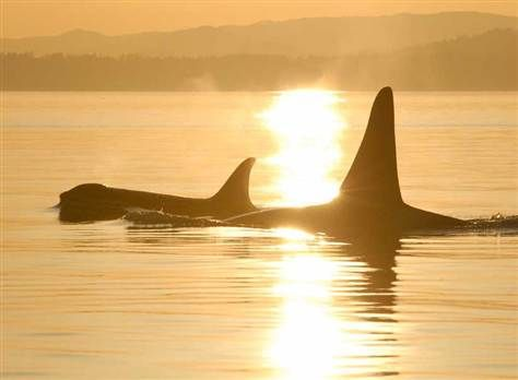 Orca moms live longer — to care for sons' young, study says (David Ellifrit, Center for Whale Research)