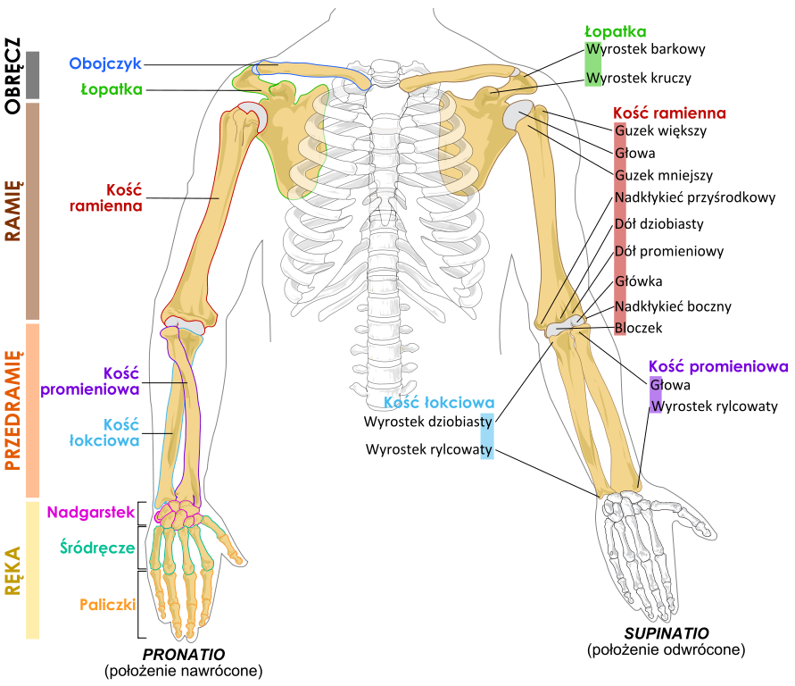 Anatomy Arm Bones Places To Visit Forearm Anatomy Arm Bones