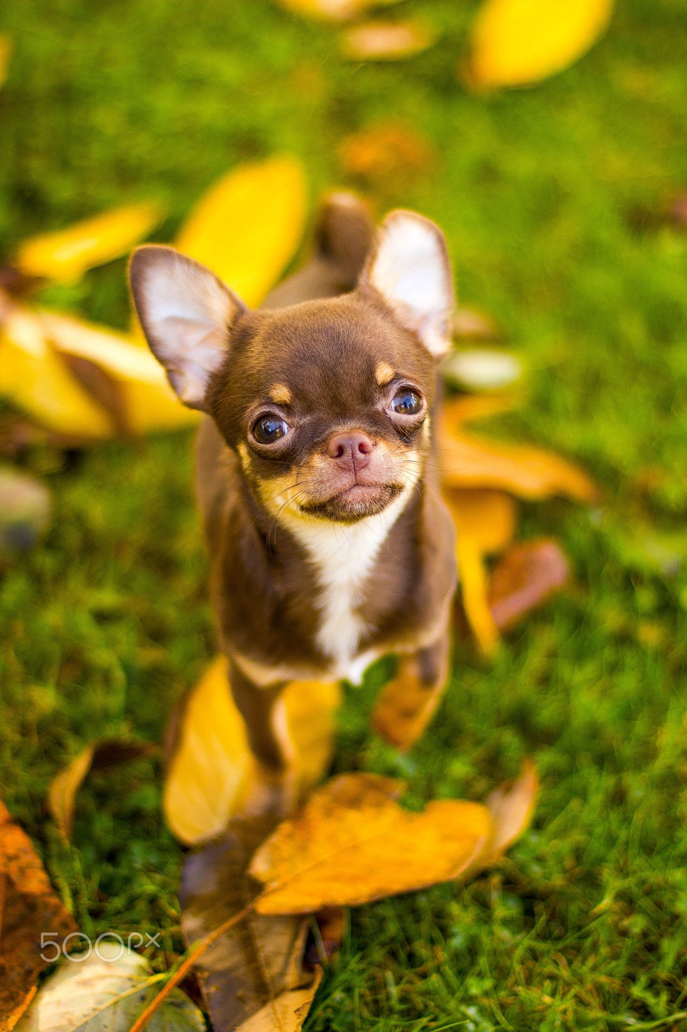 Pin By Meme Kowalzyk On Chihuahuas Cute Chihuahua Cute Dogs