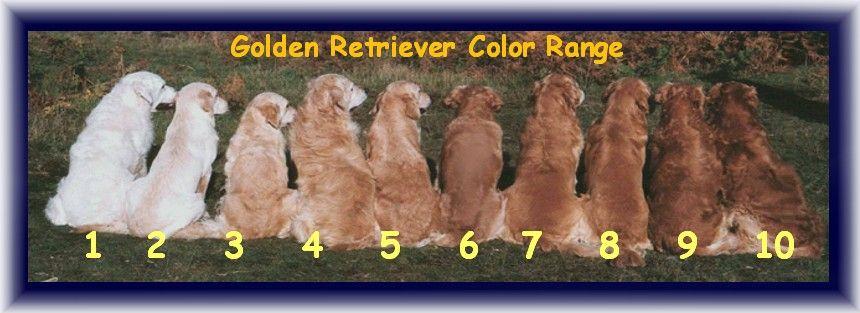 Golden Retriever Color Range Golden Retriever Colors Red Golden