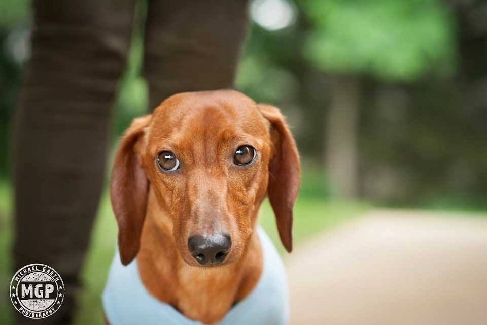 Operation Paws For Homes Jack The Dog Dachshund Dogs Dogs