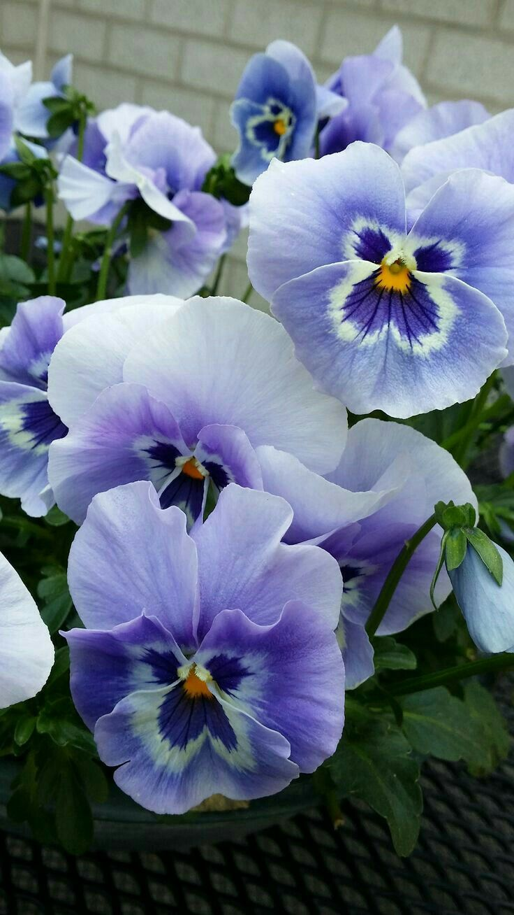 Pin By D Entremont On Vjollcat Manushaqet Pansies Flowers Amazing Flowers Beautiful Flowers
