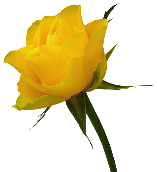 Red Rose Clip Art Galleries Red Rose Images Love Yellow Rose