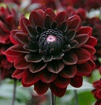 A Beautiful Specimen Bravo Siddharath Rao Flowers Nature India Beautiful Pretty Flowers Beautiful Flowers Dahlia Flower