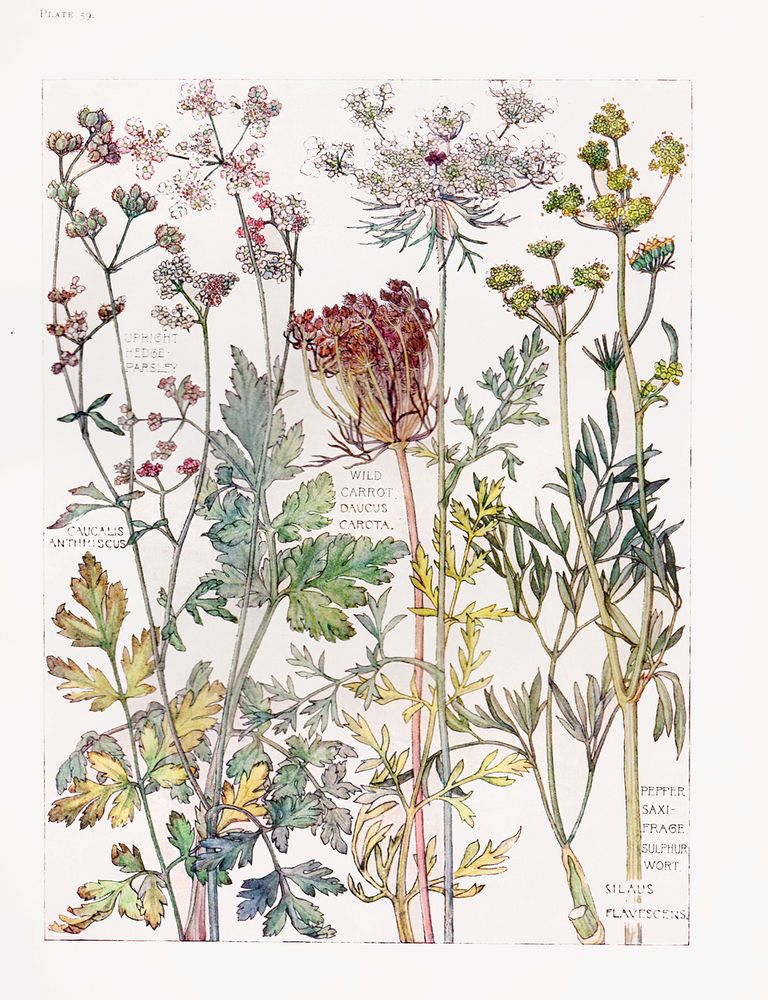 English Wild Flowers Botanical Watercolour Print By Isabel