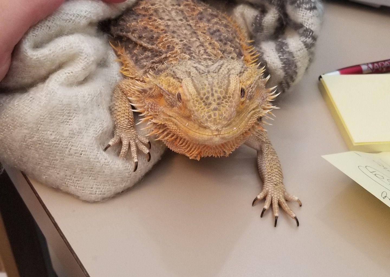 Pin On Bearded Dragon