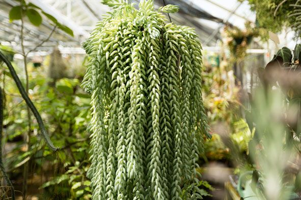 donkey tails succulent - Google Search