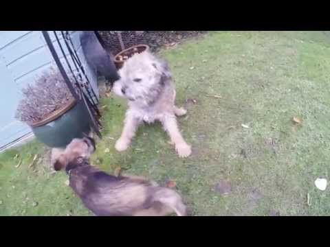 Murphy And Hugo The Border Terriers Play Fighting Border