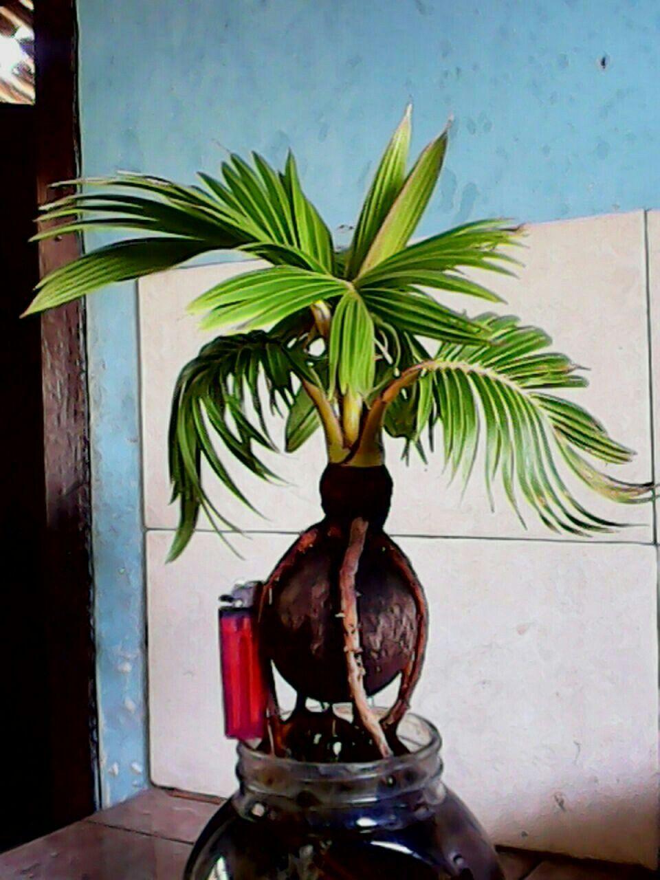 Bonsai Coconut Indonesia Bonsai Tanaman Kebun