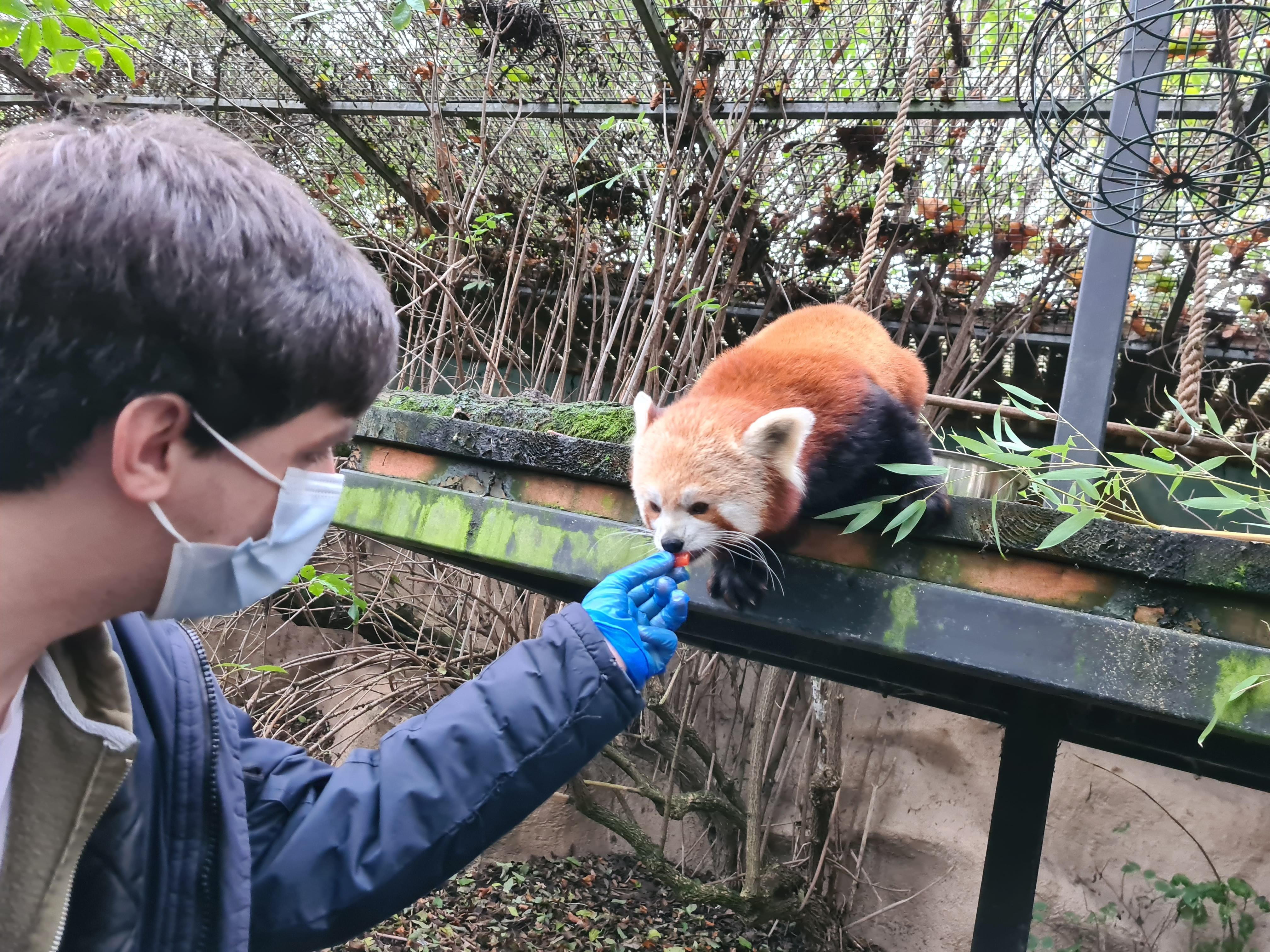 Please Follow Iloveredpandas Got To Experience My Dream Of Meeting A Red Panda They Re So Cute Redpanda Panda Cutebear Bea Red Panda Panda Bear Cute Bears