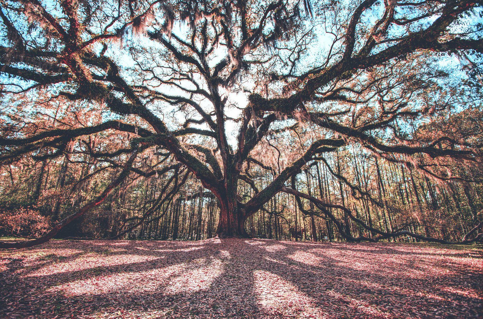 The Story Behind This Gigantic Oak Tree In Florida Is Like Something Out Of A Fairytale Live Oak Trees Oak Tree Florida Trees