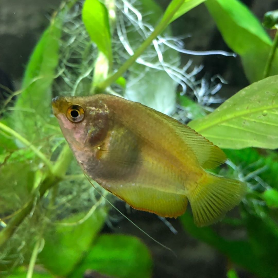 Little Sweet Yellow Gourami Fish Credit To Triton The Sea God On Instagram As The Owner Of This Photo Betta Fish Types Fish Pet Siamese Fighting Fish